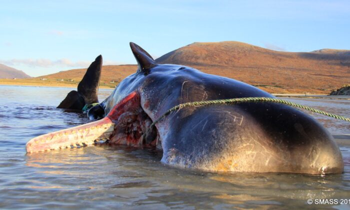 The sperm whale's carcass was discovered by Isle of Harris residents on Seilebost beach in Scotland on Nov. 28, 2019. (Courtesy of Scottish Marine Animal Strandings Scheme)