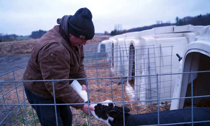 Paul Fouts feeds milk to a newborn calf on his dairy farm in central New York on Nov. 11, 2019. (Cara Ding/The Epoch Times)