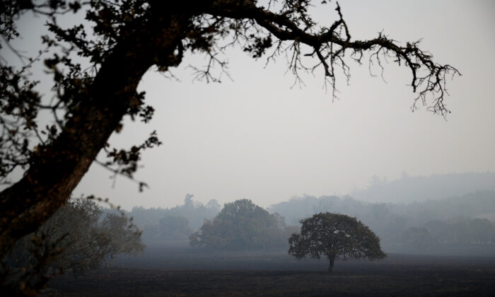A lone oak tree stands in a field in Glen Ellen, Calif., on Oct. 10, 2017. (Justin Sullivan/Getty Images)