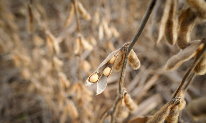 Soybeans in a field on Hodgen Farm in Roachdale, Indiana, U.S. on Nov. 8, 2019. (Bryan Woolston/Reuters)