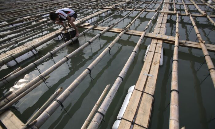 A worker checks the growth of abalone in a fish farm at Taijiang Village in Xiapu County of Fujian Province, China on Oct. 17, 2017. (China Photos/Getty Images)