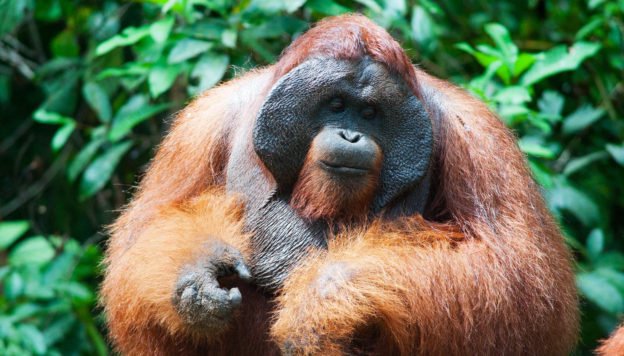 Video: Emotional Orangutan 'Kisses' Pregnant Woman's Baby Bump Through the Glass at Zoo in UK