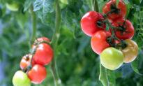 Plants Emit Ultrasonic 'Screams' When Stressed: Study