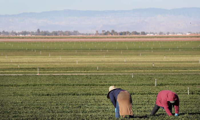Farm workers pull weeds in a field of organic spinach growing near the U.S.-Mexico border near El Centro, California on Jan. 25, 2019. (Scott Olson/Getty Images)