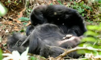 Gorillas Grieve Their Dead and Have Funerals for Them Just Like Humans