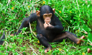 Puppy Being 'Eaten Alive' by Worms Saved and Brought Back to Life by Love of Rescued Chimpanzees