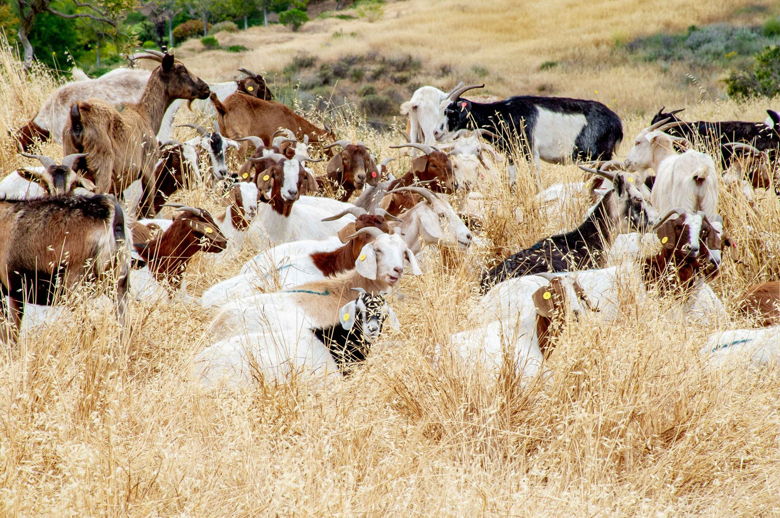 Goats gather in Simi Valley, California