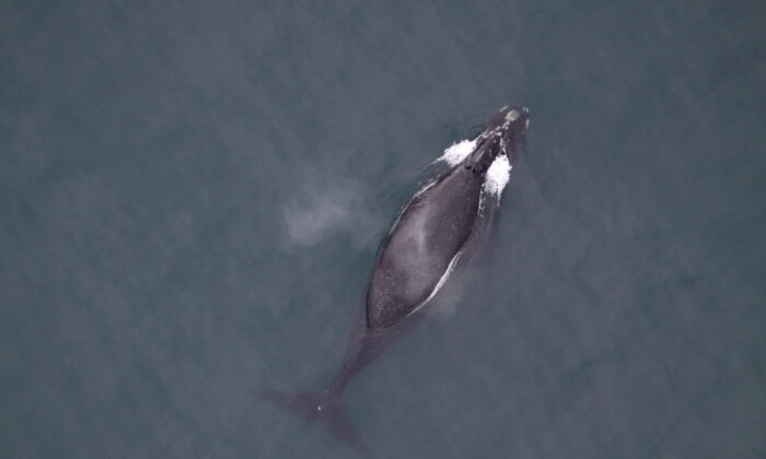 A North Pacific right whale in the North Pacific Ocean. It is believed to be one of fewer than 50 in U.S. waters. (Courtesy Marine Mammal Commission/Handout via REUTERS)