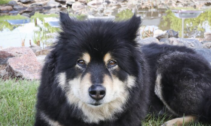 Katy McQuaid's 13-year-old Finnish Lapphund named Grace. (Courtesy of Katy McQuaid)