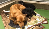 Worried Dog Sneaks Out of Kennel Just to Comfort Two Scared, Crying Foster Puppies