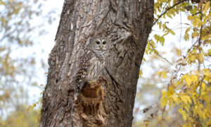Photographer Hides for Two Hours to Capture This Perfectly Camouflaged Owl