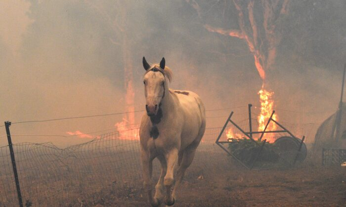 A horse trying to move away from nearby bushfires at a residential property near the town of Nowra in the Australian state of New South Wales on Dec. 31, 2019. (Saeed Khan/ AFP)