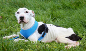 Starving Dog That Ate Glass and Old Batteries to Survive Now Awaits a Forever Home