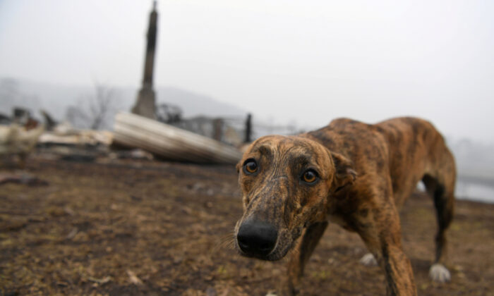 A dog visits the burnt out property of its owner's family member in Kia, Australia, Jan. 8, 2020. (Reuters/Tracey Nearmy)
