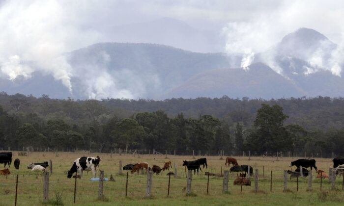 Cattle graze in a field as smoke rises from burning fires on mountains near Moruya, Australia, on Jan. 9, 2020. A group of Canadian volunteers is heading to Australia to help rescue animals impacted by the wildfires. (AP Photo/Rick Rycroft)