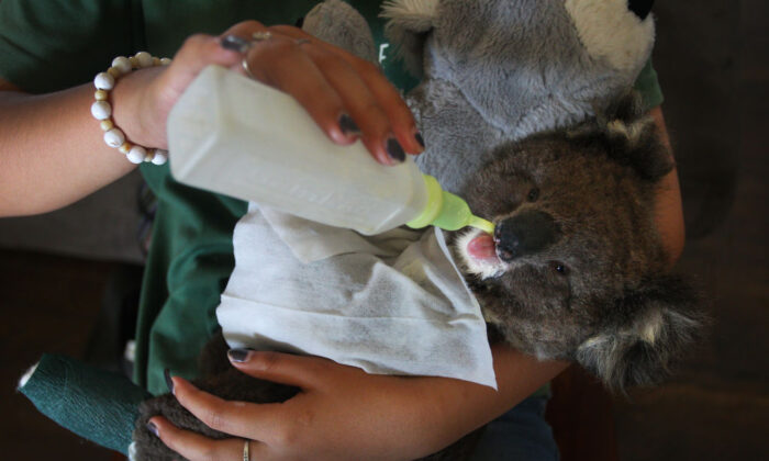 A volunteer wildlife carer feeds an injured koala joey at the Kangaroo Island Wildlife Park in the Parndana region on January 08, 2020 on Kangaroo Island, Australia. (Lisa Maree Williams/Getty Images)
