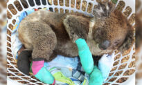 Koala With Four Badly Burned Paws Saved From Bushfires Celebrates With Eucalyptus Feast at Shelter