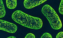 Mitochondria: This First Responder May Ease Chronic Inflammation