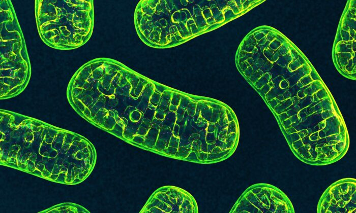 Mitochondria exist within our cells and play a crucial role protecting our DNA.(3d_man/Shutterstock)