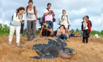 First Leatherback Turtle of 2020 Lays Its Eggs on Thailand Beach