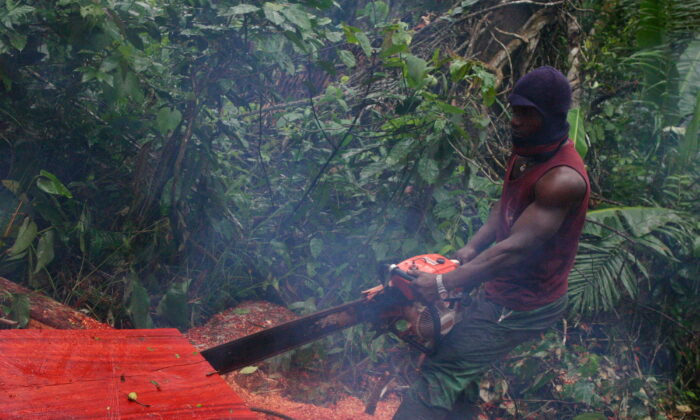 A logger saws through a timber log in the tropical rain forest of Cameroon in Ndimako, East Region, on 18 April 2017. Much of the wood from this part of the country ends up in China. (Amindeh Blaise Atabong for The Epoch Times)