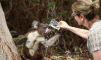 Video of Koala & Dog Sharing a Drink in Backyard Offers Comfort Amidst Australia's Bushfire Crisis