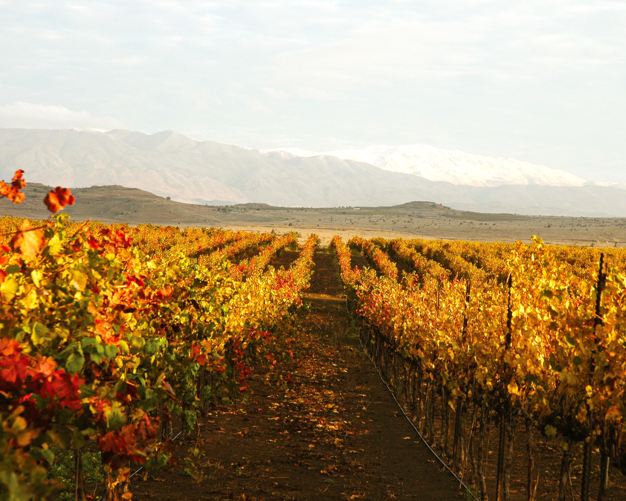 Autumn in the vineyards in Golan Heights region