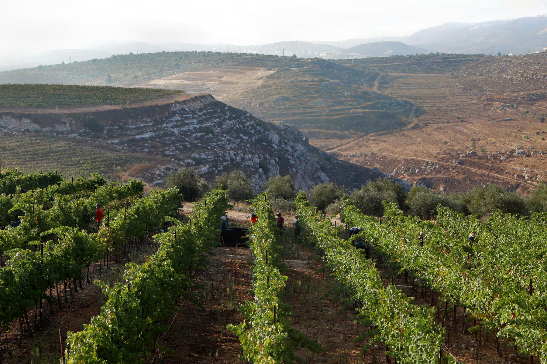 Vineyards in Shomron Hills