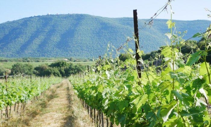 Vineyards in the Upper Galilée region. (Aleksandra Trochimiuk)