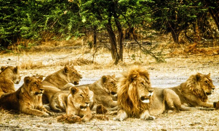 The lion is a huge cat, with head and body stretching 4.5 to 6.5 feet and weighing from 265 to 420 pounds. It lives in groups, called prides, of three to 40. (Fred J. Eckert)