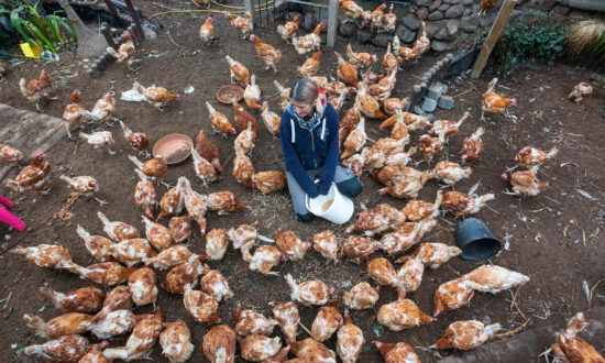 Woman Saves 4,000 Chickens From Slaughter After Raising Over $3,000 in 36 Hours