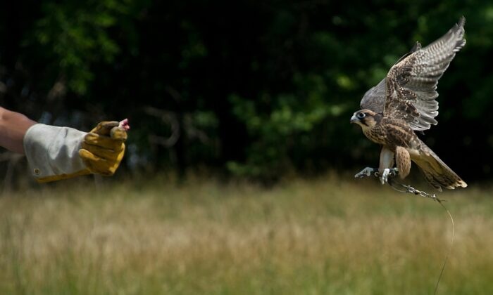 A Lanner Falcon flies to its trainer's arm at a bird sanctuary in Laurel, Md., on June 14, 2012.  (KAREN BLEIER/AFP/GettyImages)