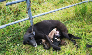 Momma Dog Abandoned & Chained to a Fence Nursing 6 Newborn Puppies Found & Rescued in Ireland
