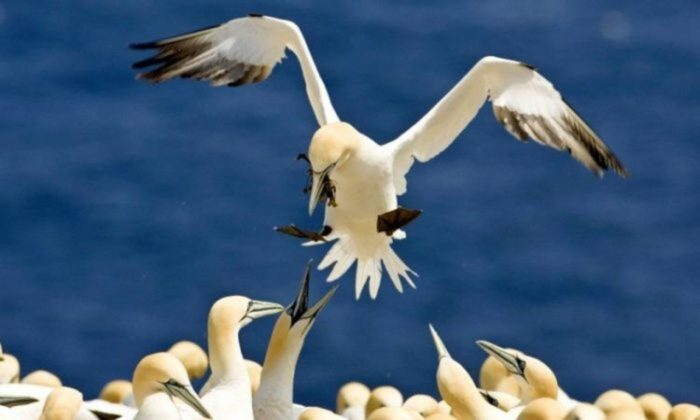 Northern gannets pictured on Bonaventure Island in Quebec, home to an estimated 55,000 gannet pairs. The gannet migrates to the southeastern coast of the United States each fall. (David Boily/AFP/Getty Images)