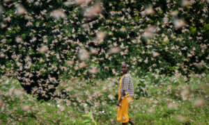 Spray Planes Combat Huge Locust Swarms in East Africa