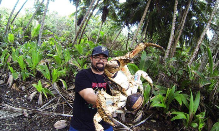 Giant coconut crab on Christmas Island, Australia. (Christmas Island Tourism Association)