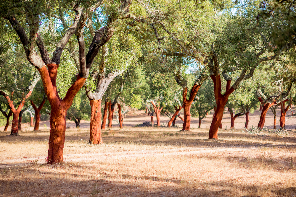 plantation of cork oak trees