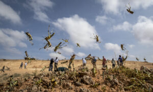 Africa Locust Invasion Spreading, May Become 'Devastating Plague,' UN Warns