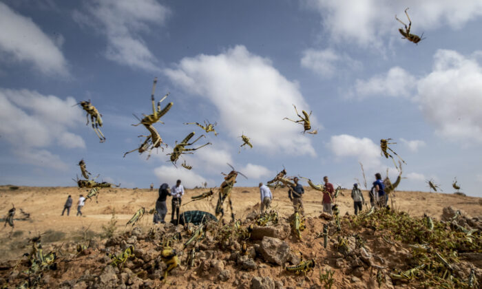 Young desert locusts that have not yet grown wings cover the ground in the desert near Garowe, in the semi-autonomous Puntland region of Somalia on Feb. 5, 2020. (Ben Curtis/AP Photo)