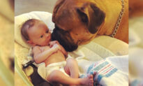 Loyal Bullmastiff Befriends Newborn Baby 'Brother' by Bringing Him Favorite Toy Whenever He Cries