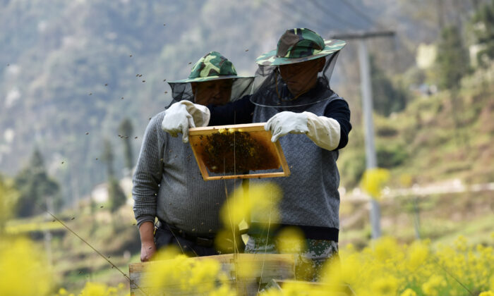 Beekeepers check a beehive at a farm in Longli county, Guizhou Province, China, on March 15, 2018. (Reuters)