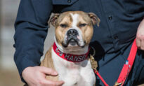 Pit Bull Rescued From Dog-Fighting Ring Becomes First Arson-Detection K9 in the US