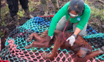 Shot, Starving Orangutan Makes Amazing Recovery, Highlights Plight of Rainforest Wildlife