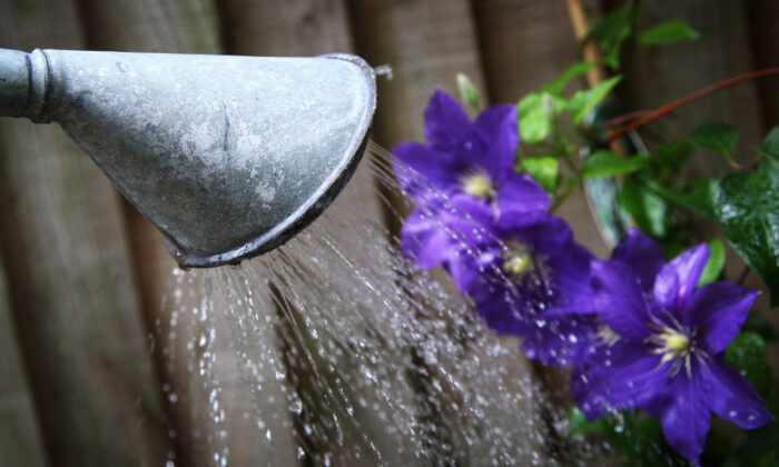 A watering can pours water on to some flowers in London, England, on Aug. 11, 2008. (Chris Jackson/Getty Images)