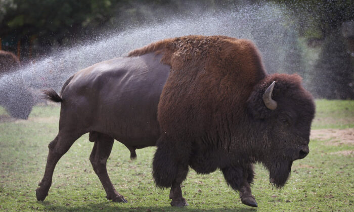 The iconic bison, part of the poem of America. (Scott Olson/Getty Images)