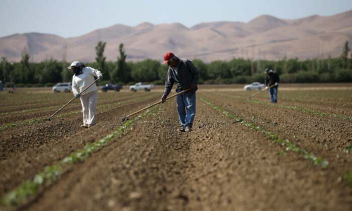 Workers weed a cantaloupe field in Firebaugh, Calif., on April 23, 2015. (Justin Sullivan/Getty Images)
