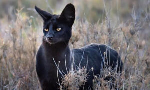 Photographer Captures Extremely Rare Black Serval Cat in Africa, and It's Blowing People's Minds