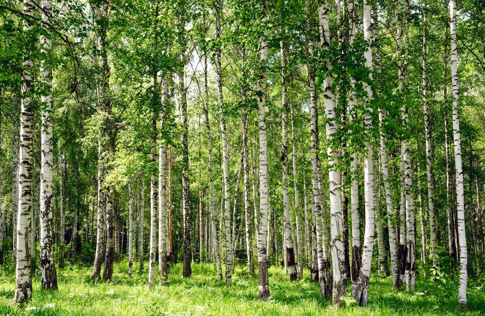 Russian birch trees