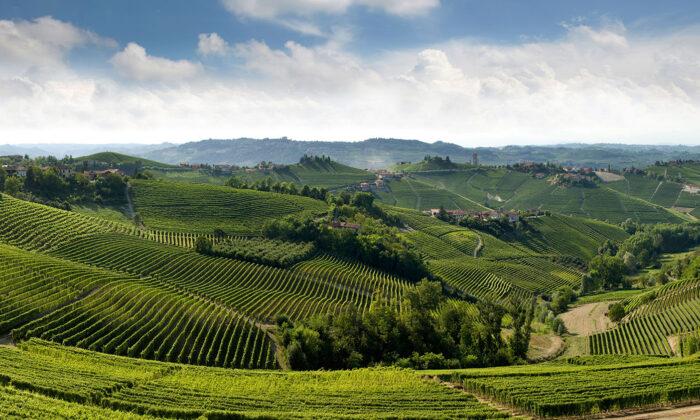 The Langhe Hills of Piemonte, where barolo and barbaresco are produced. (Courtesy of Consorzio di Tutela Barolo Barbaresco Alba Langhe & Dogliani)