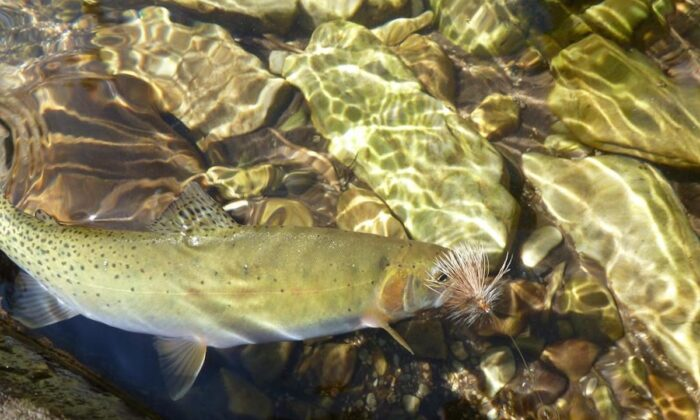 A Westslope cutthroat trout swims next to a lure in Idaho's North Fork of the Clearwater River on July 19, 2013. (Pete Zimowsky/The Idaho Statesman via The Canadian Press/AP)